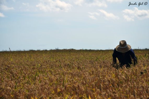 Terra d'arròs
