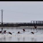 Els flamencs del delta