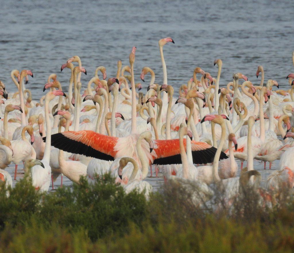 Flamencs Delta de l'Ebre